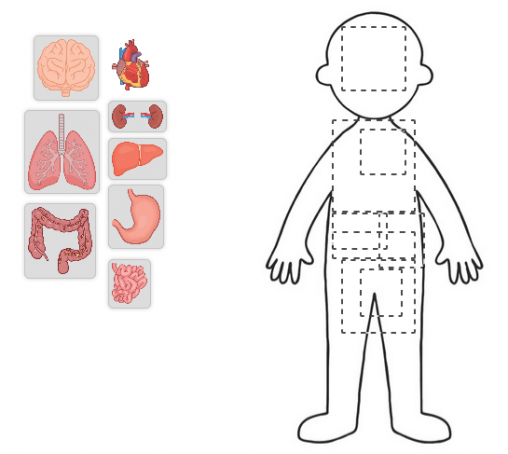 Outline of a body with images of organs to drag into the right location
