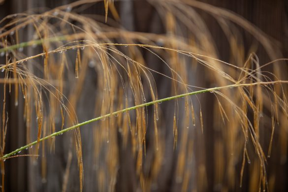 Nice image of raindrops on grass seed heads
